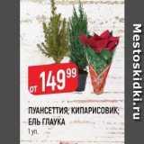 Магазин:Верный,Скидка:ПУАНСЕТТИЯ; КИПАРИСОВИК; ЕЛЬ ГЛАУКА