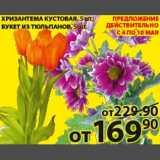 Магазин:Пятёрочка,Скидка:Хризантема кустовая/Букет из тюльпанов