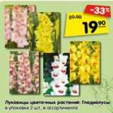 Луковицы цветочных растений: Гладиолусы в упаковке 2 шт., в ассортименте